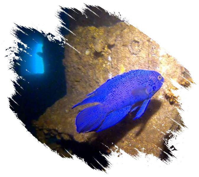 Blue Fish Under Water