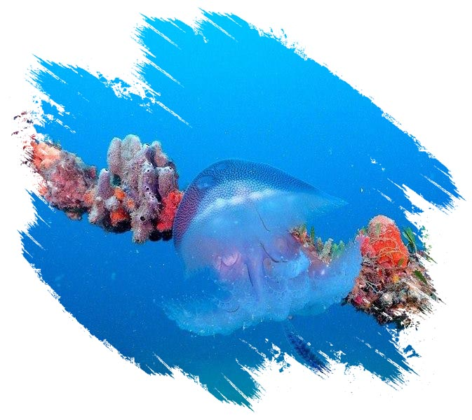 Jelly Fish on Coral